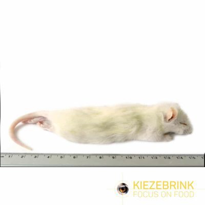 Large weaner rat 60-90 gram